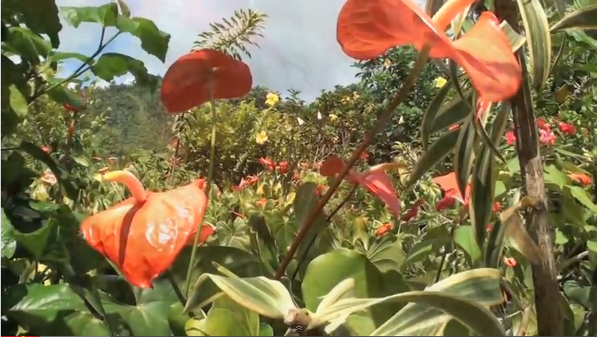 Saint Vincent and Grenadines Flowers